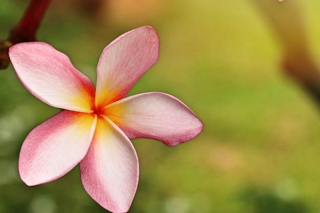 Flores tropicais rosa frangipani