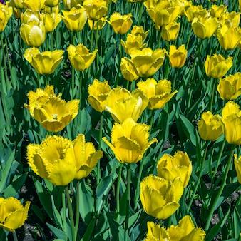 Flores tulipa amarela colorida em um canteiro de flores no parque da cidade
