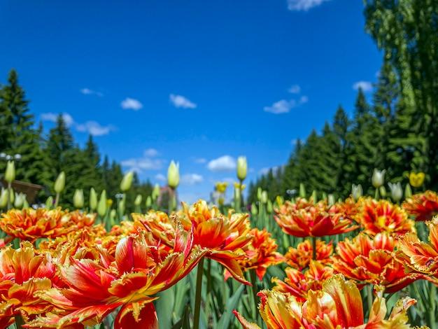Flores tulipa vermelha e laranja em um canteiro de flores no parque da cidade