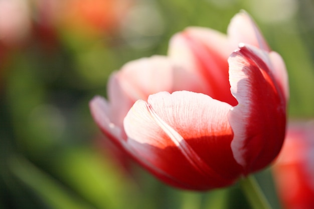 Flores tulipa
