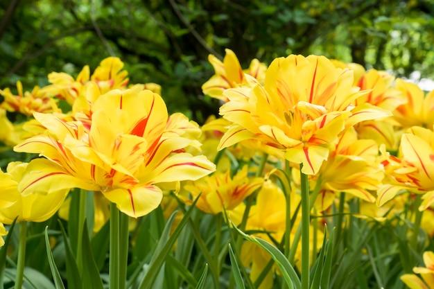 Flores tulipas amarelas coloridas que florescem em um jardim