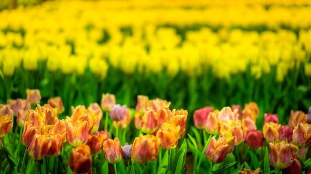 Flores tulipas amarelas floração no campo de tulipas