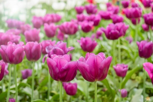 Flores tulipas coloridas que florescem em um jardim