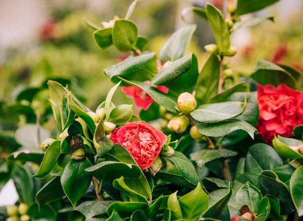 Flores vermelhas com botões na árvore