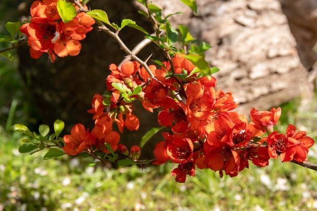 Flores vermelhas de chaemnomeles japonica marmelo foco seletivo