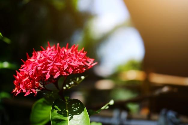 Flores vermelhas de florescência de ixora com luz solar natural no jardim.