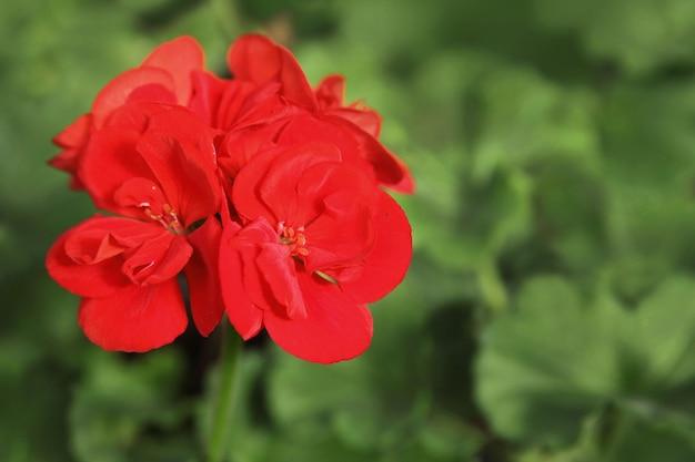 Flores vermelhas de gerânio de jardim, em um fundo de folhas verdes, quadro de close-up