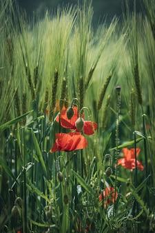 Flores vermelhas de papoula e botões verdes entre espigas de trigo