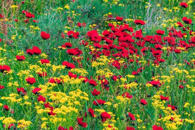 Flores vermelhas de papoula selvagem no campo