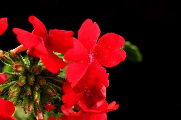 Flores vermelhas de verbena em close