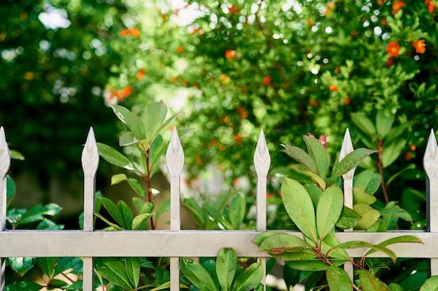 Flores vermelhas desabrochando de um arbusto de romã atrás de uma cerca de metal