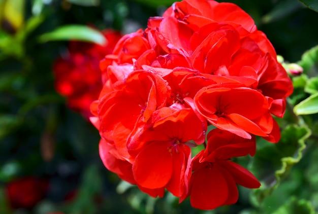 Flores vermelhas do gerânio no fim do jardim do verão acima pelargonium da folha da hera. fundo floral foco seletivo.