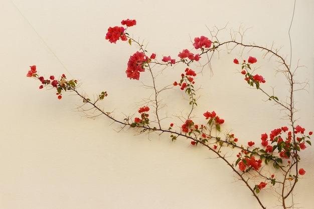 Flores vermelhas na parede da casa.