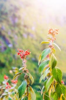 Flores vermelhas selvagens bonitas com luz solar na montanha.