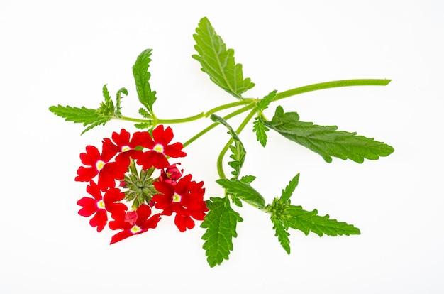 Flores vermelhas verbena canadensis em fundo branco. foto do estúdio.