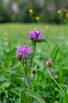 Flores violeta em um prado selvagem turva natureza bokeh