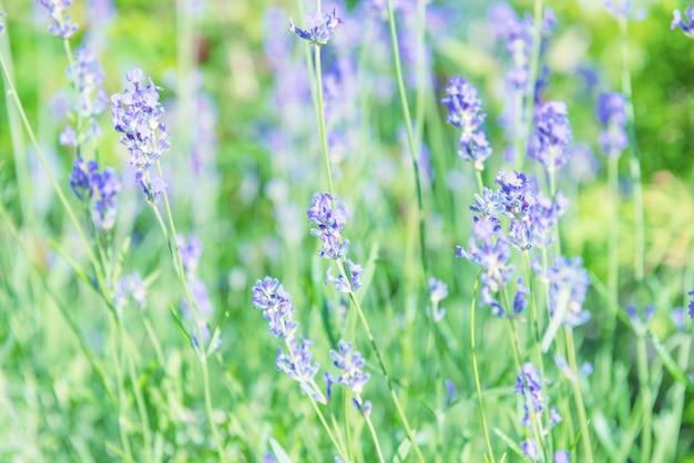Flores violeta lavanda no campo ao pôr do sol