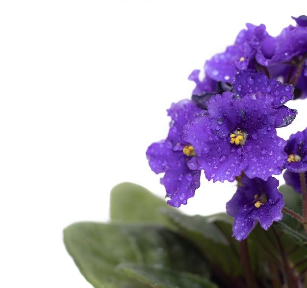Flores violetas em um fundo branco uma planta de casa