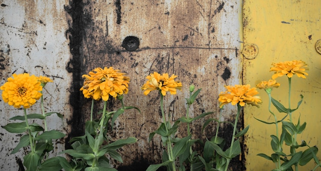 Flores zinnia amarelas contra um fundo de parede de aço grunge vintage enferrujado. estilo panorâmico