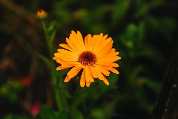 Floresça com folhas calendula (calendula officinalis, pote, jardim ou calêndula inglesa) na natureza verde turva. calêndula no dia ensolarado de verão. feche acima da erva medicinal da calêndula.