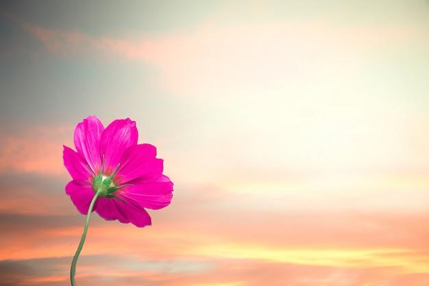 Floresça no fundo do céu do por do sol com uma flor do cosmos com por do sol ou nascer do sol morno do céu.