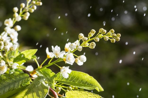 Floresce a cereja de pássaro em uma árvore que cresce na floresta de primavera.
