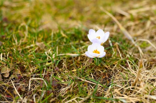 Floresce açafrão em plena floração, lilás branco, cresce na grama seca.