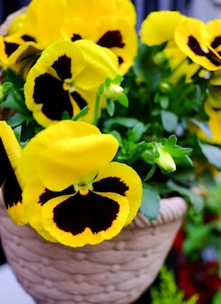 Floresce amores-perfeitos em cores amarelas brilhantes com um close-up escuro