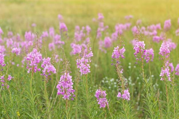 Floresce fireweed ou ivantea crescendo no prado com a luz do sol erva natural deliciosa e saudável