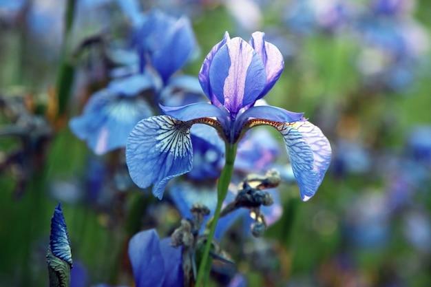 Floresce íris em um prado. botânica e vegetação
