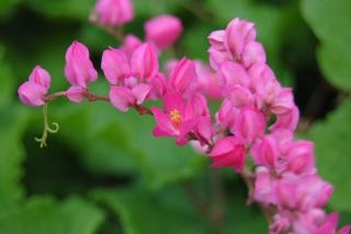 Floresce namibiano, rosa, rosas