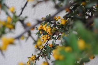 Floresce namibiano, rosas