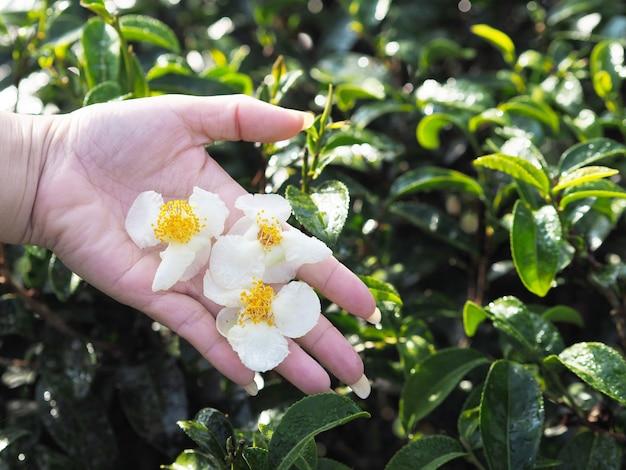 Floresce o chá na mão da mulher na exploração agrícola de árvore do chá.