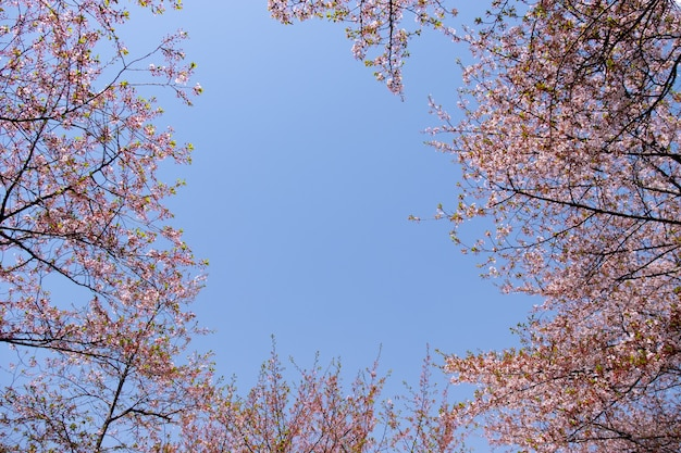 Florescência bonita de sakura cor-de-rosa com o céu azul para o fundo e o contexto.