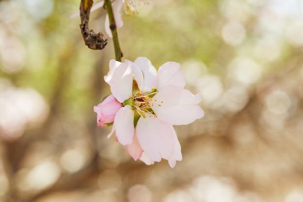 Florescência da árvore de amêndoa rosa close-up. alta resolução
