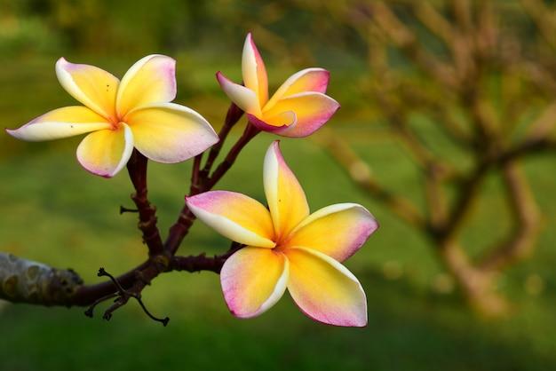 Florescência da flor do plumeria e folha verde com céu brilhante flor branca flor amarela ou flor branca.