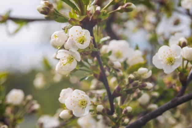 Florescência de flores de cerejeira ou ameixa em tempo de primavera com folhas verdes, macro.