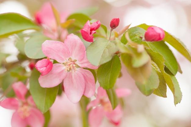 Florescência de florescência chinesa do caranguejo-maçã. botão cor-de-rosa em um ramo de árvore de maçã na flor da mola.