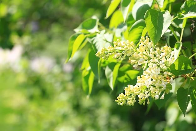 Florescência lilás no parque. foco seletivo suave. fundo natural de primavera