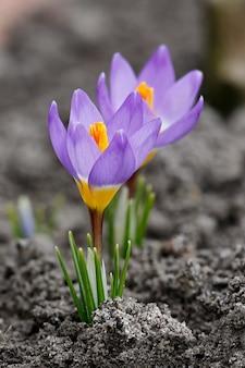 Florescendo açafrões no jardim primavera. flores no chão. crocus sativus l.