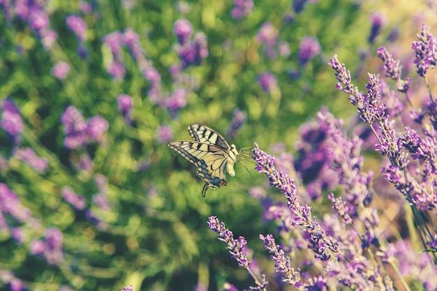 Florescendo campo de lavanda. borboleta em flores.