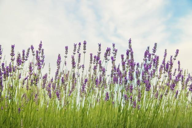 Florescendo campo de lavanda. flores de verão. foco seletivo
