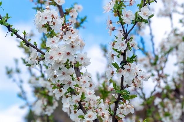 Florescendo de cerejeira na primavera