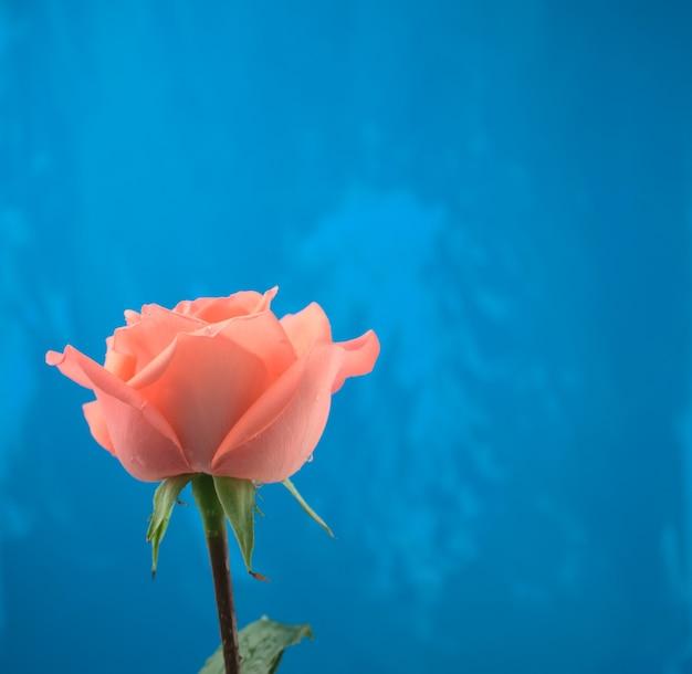 Florescendo em uma rosa laranja rosa com gotas de água e um fundo de textura abstrato azul grunge