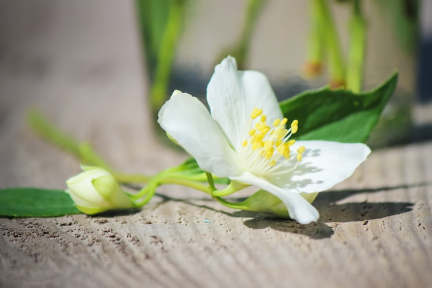 Florescendo flores de jasmim. foco seletivo. flores da natureza.