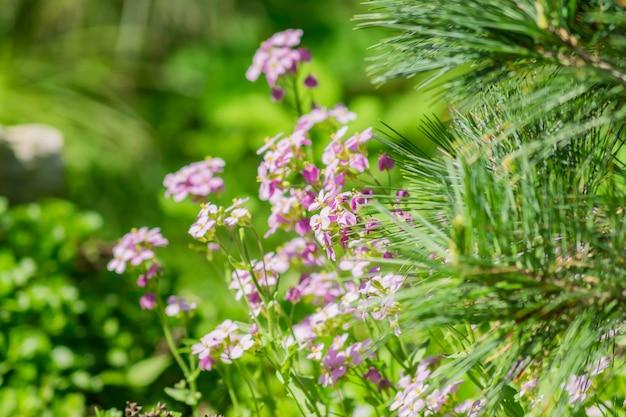 Florescendo flores roxas da primavera e galhos de árvores spruce.