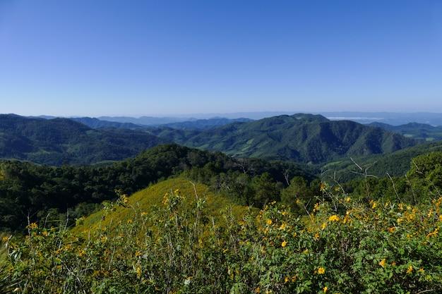 Florescendo girassol mexicano na colina