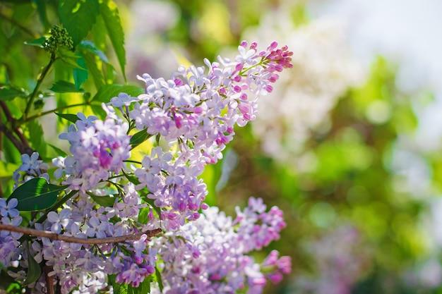 Florescendo lilás ao sol