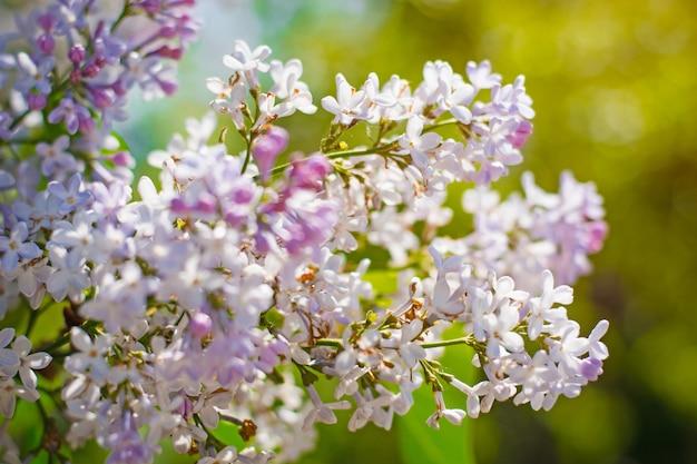 Florescendo lilás com um fundo em bokeh