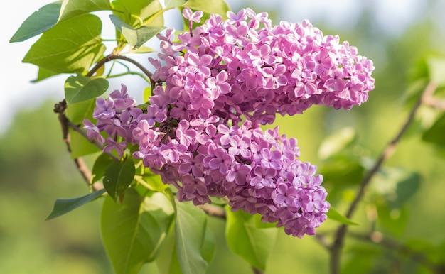 Florescendo lilás no jardim botânico